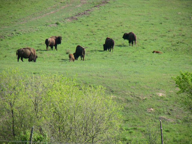Buffaloes with youngsters